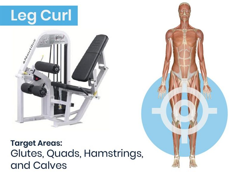 Leg Curl Machine and anatomical graphic of muscles